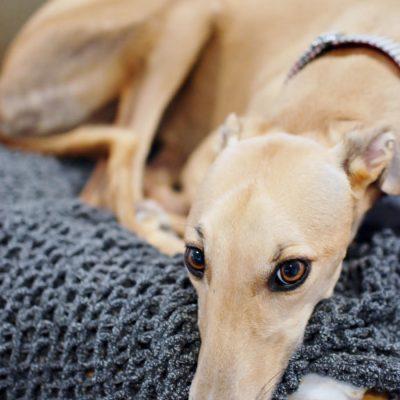 Six Truths on Adopting Greyhounds