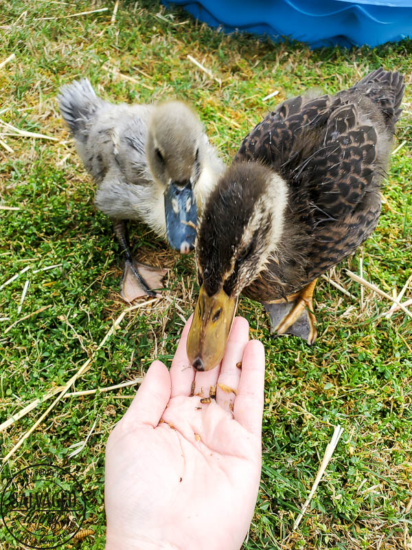 We got ducks and they have the perfect French lady duck names. Come and meet our backyard flock of ducks! #backyardducks #ducklings #frenchnames