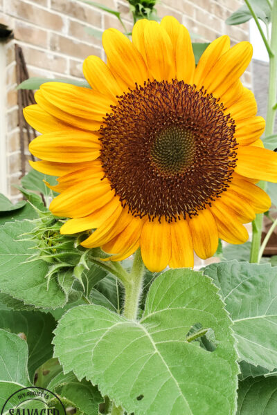Learn how and when to harvest sunflower seeds from the flower. This tutorial will help you know when a sunflower is ready to give seeds. Plus how to store sunflower seeds for the next season and how to get seeds from your own sunflower garden! #gardentips #sunflwoerseeds #seedharvest